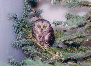 Northern sawwhet owl by Scott Jubinville