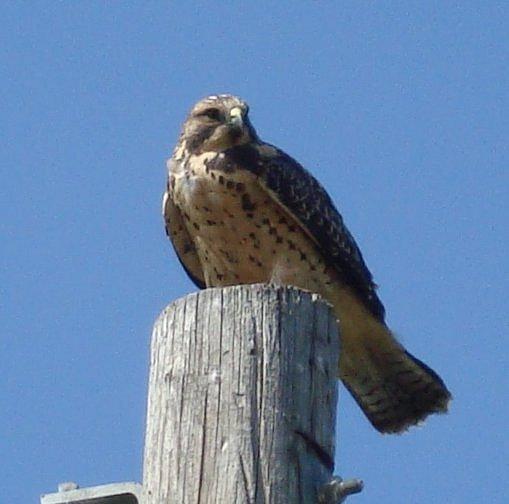 Hawk aug09