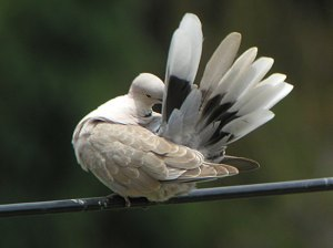 Eurasian collared dove preening. Cornell.edu