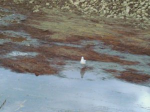 Floating mat of vegetation, and a ring-billed gull