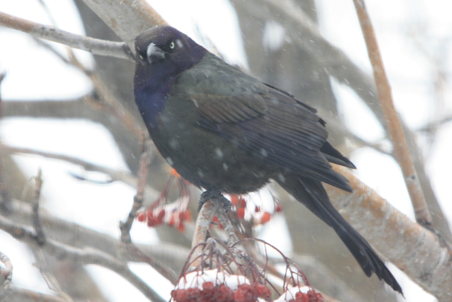 common grackle flight. Backyard Birds: Common Grackle