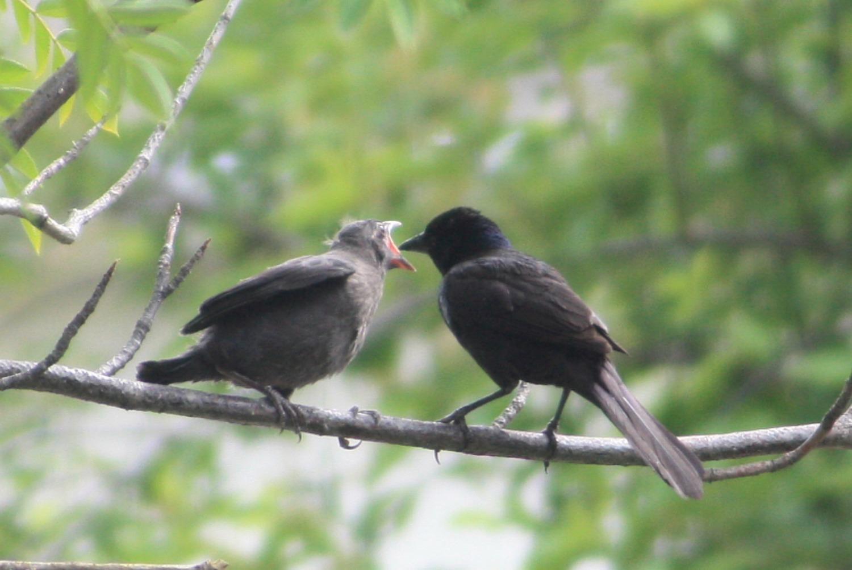 fledgling grackle - photo #31