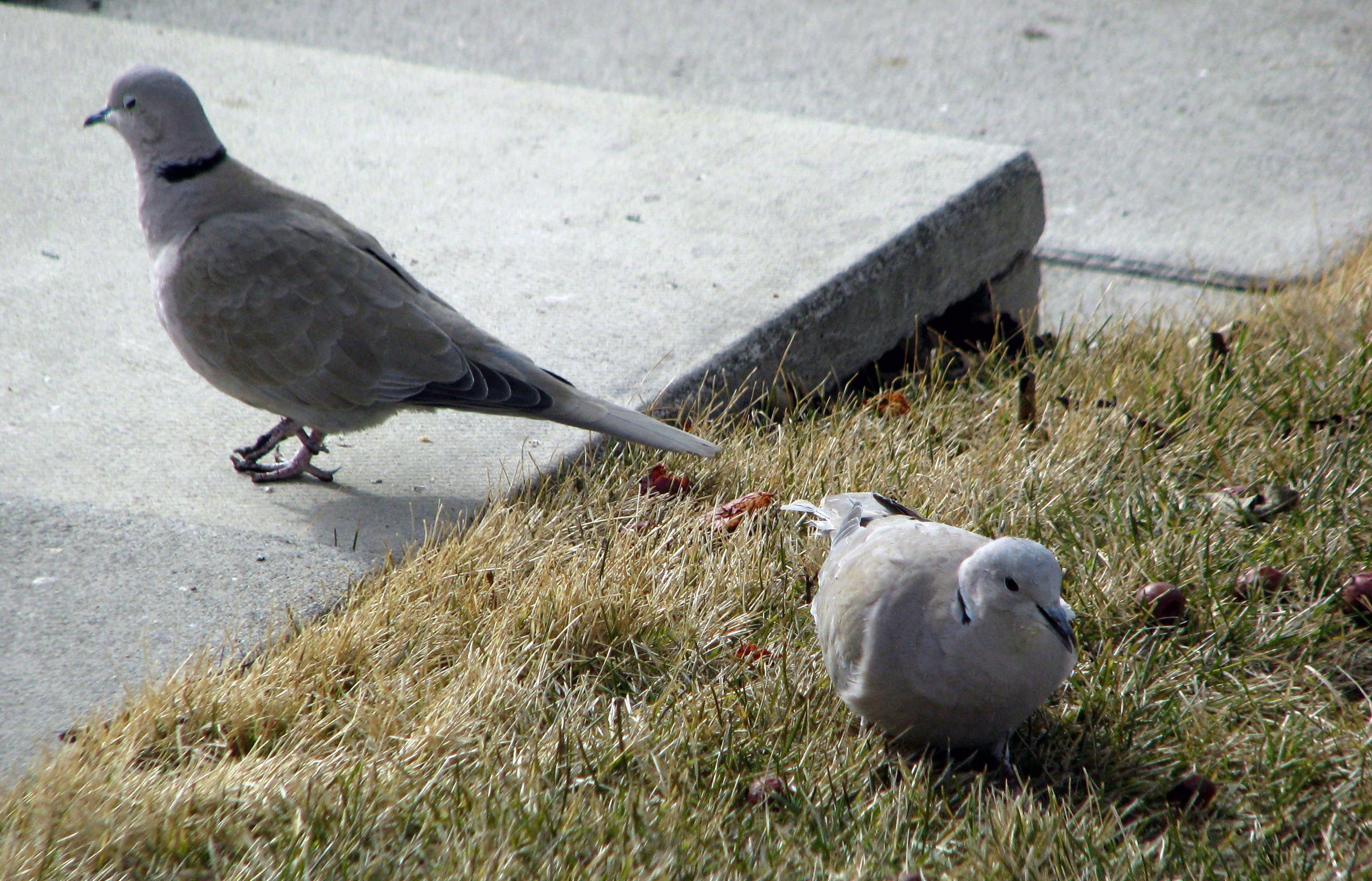 backyard birds eurasian collared dove birds calgary