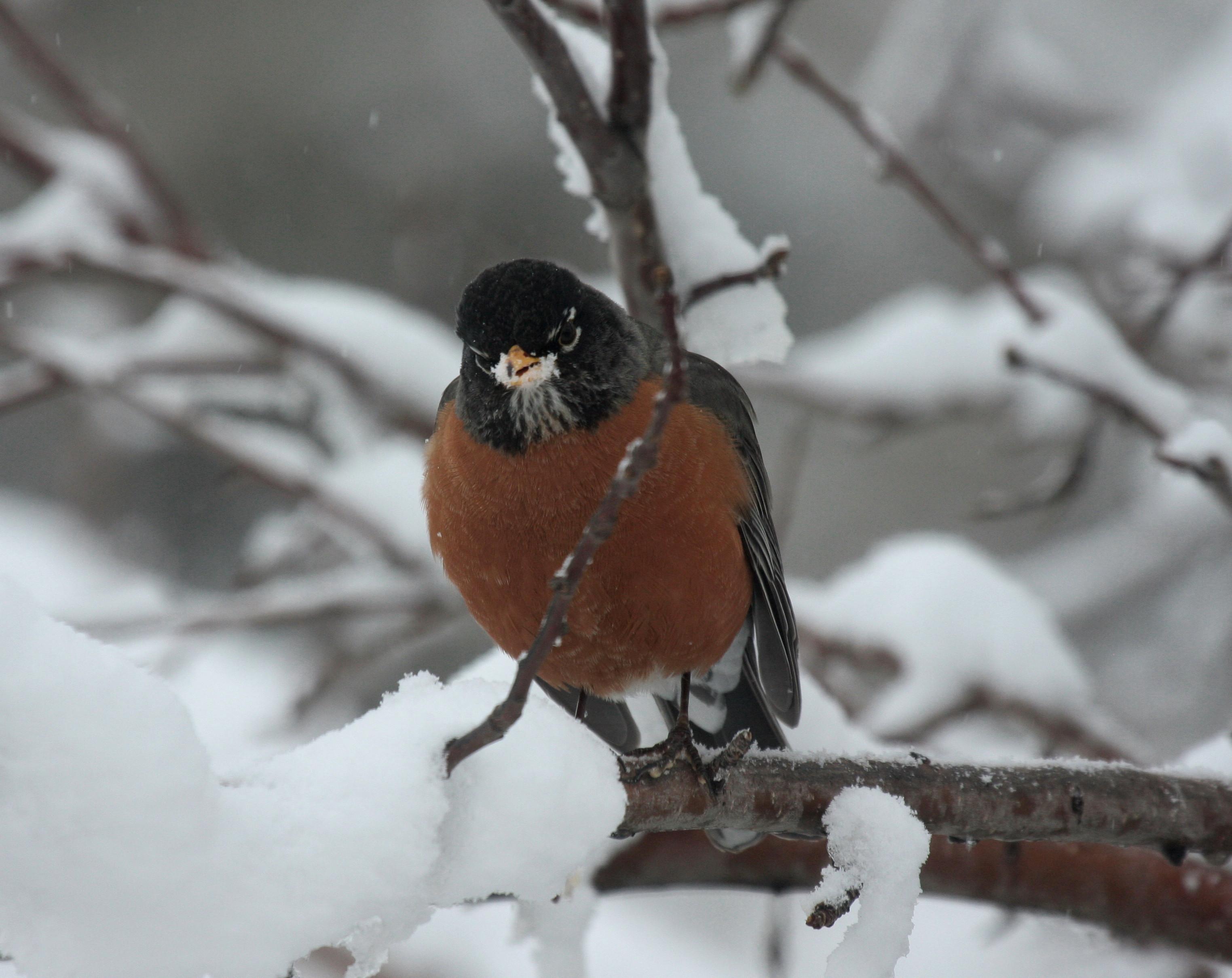 http://www.birdscalgary.com/tag/american-robin/