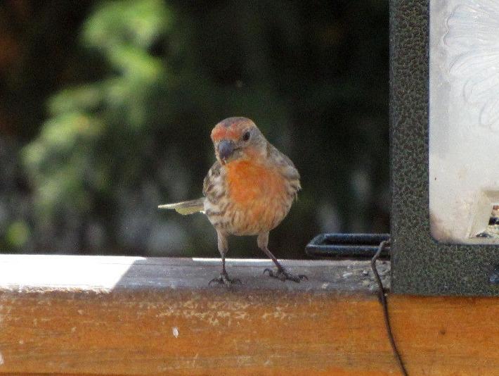 Orange finch birds - photo#3