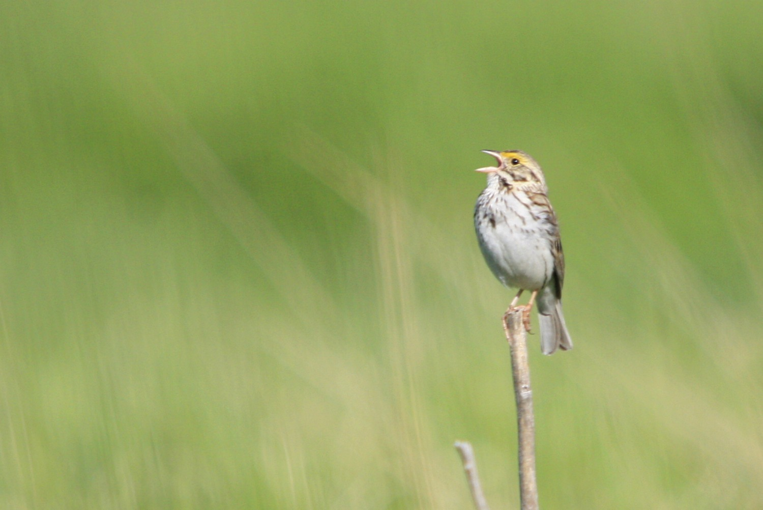 Raising Of Sparrow Pictures : family time for the birds is a busy time of year i saw 52 species of ...