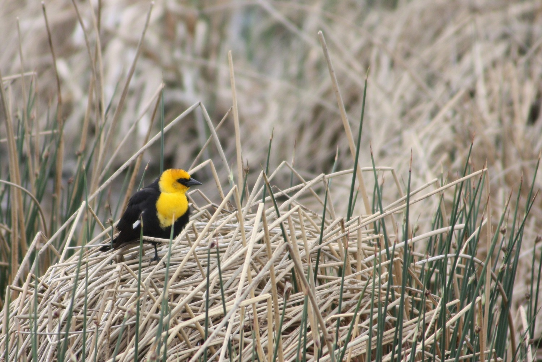 yellow headed blackbird archives birds calgary