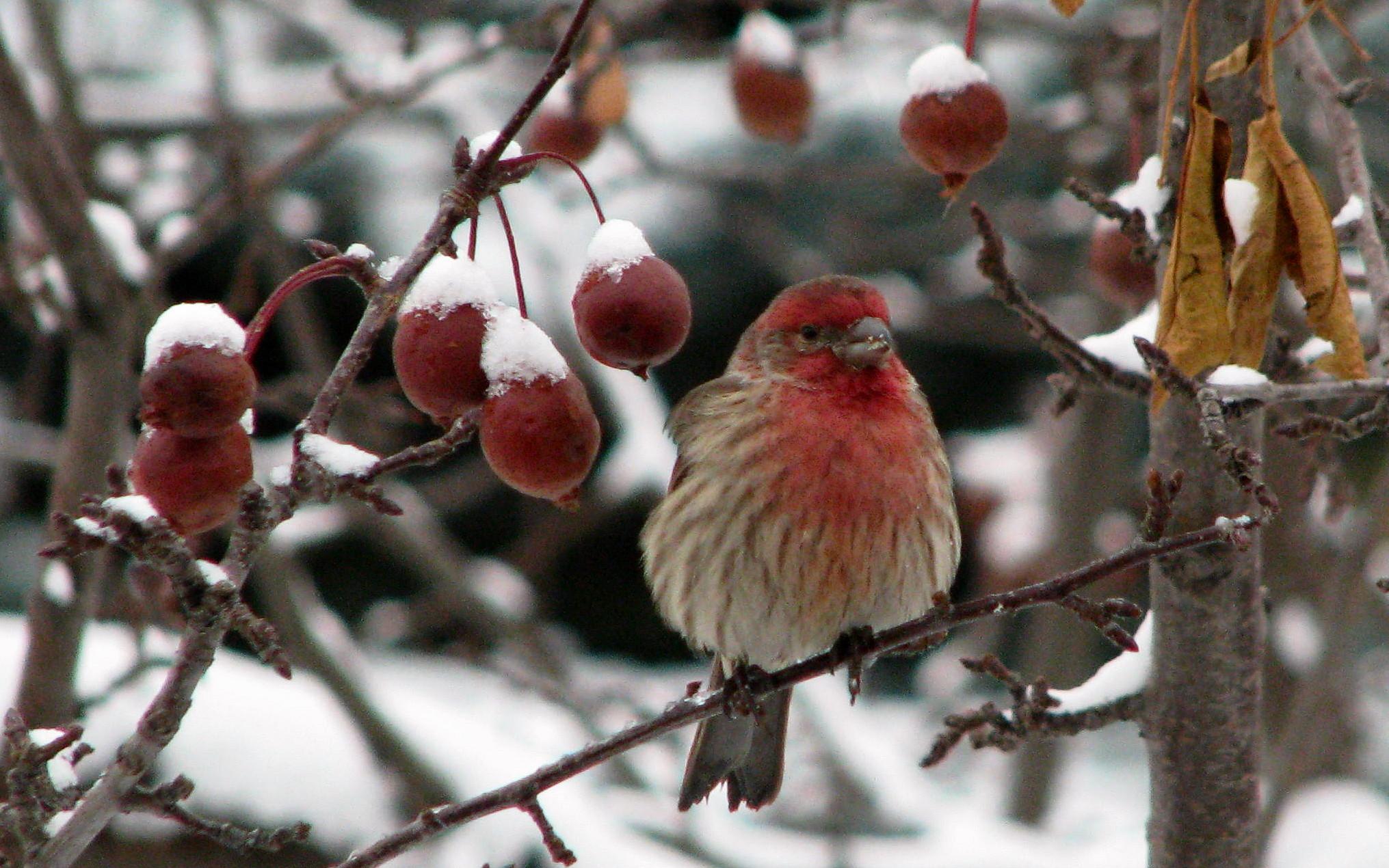 Christmas Bird.Christmas Bird Count 2011 Here S Your Chance To Volunteer
