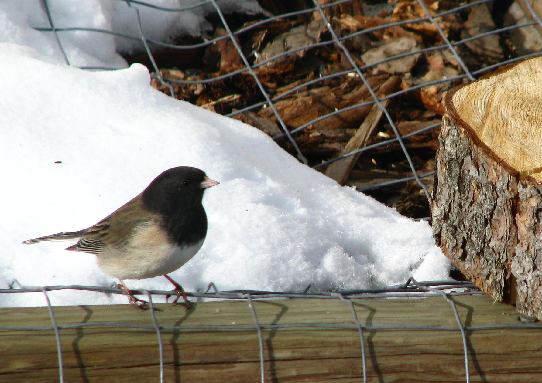 backyard birds dark eyed junco birds calgary