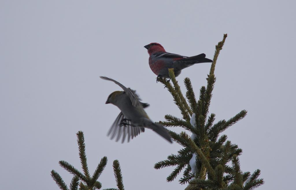 Male (R) and Female (L) Pine Grosbeak