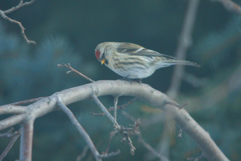 my not so common redpolls birds calgary