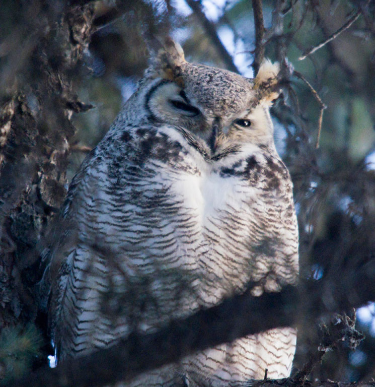 Great Horned Owl 2