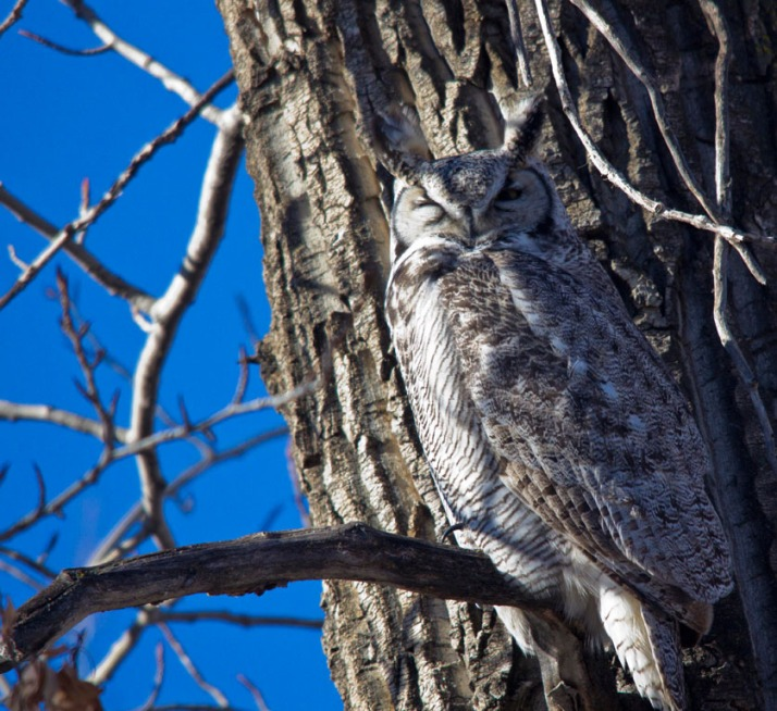Great horned Owl 03