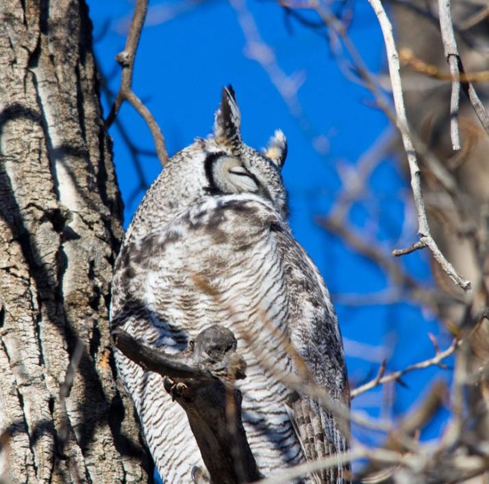 Great horned Owl 04