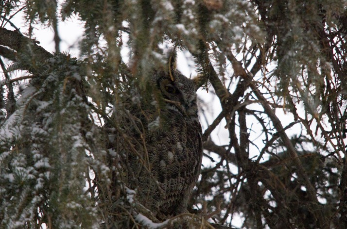 Great horned Owl 05