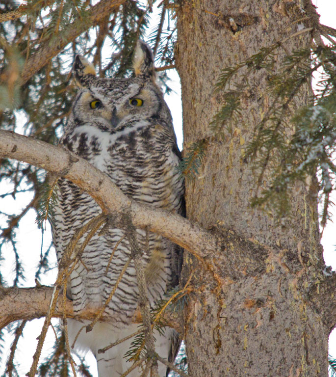 Great horned Owl 06