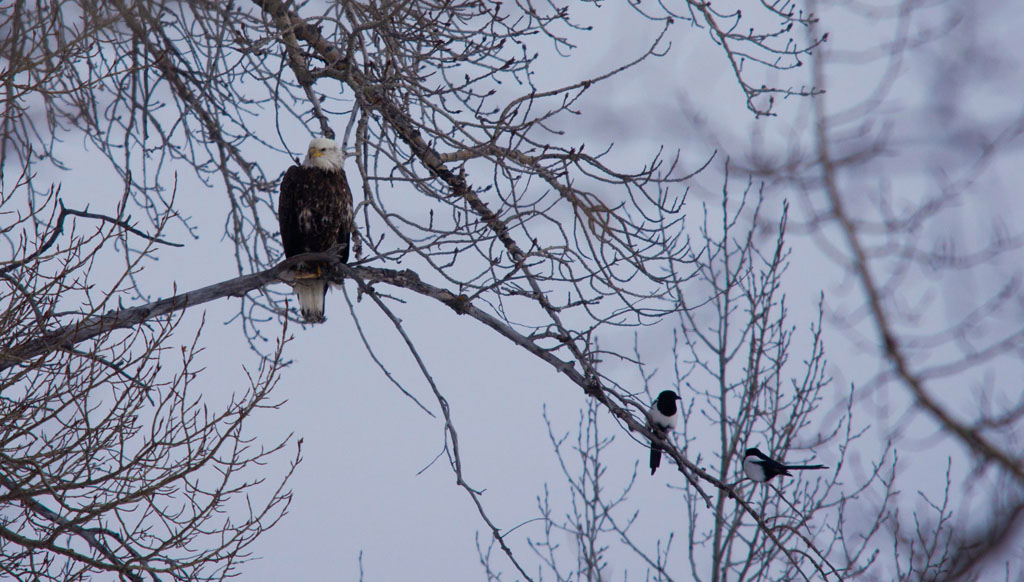 Bald Eagle and Black-billed Magpies