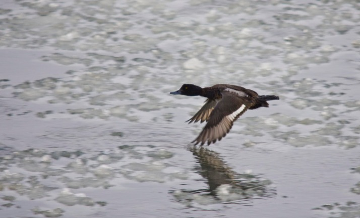Lesser Scaup in flight