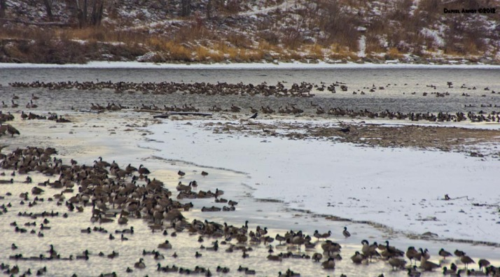 Canada Geese and Mallards on the Bow River