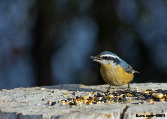 Red-breasted Nuthatch - female