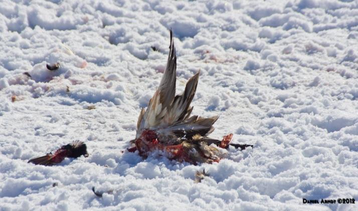 Mallard Carcass