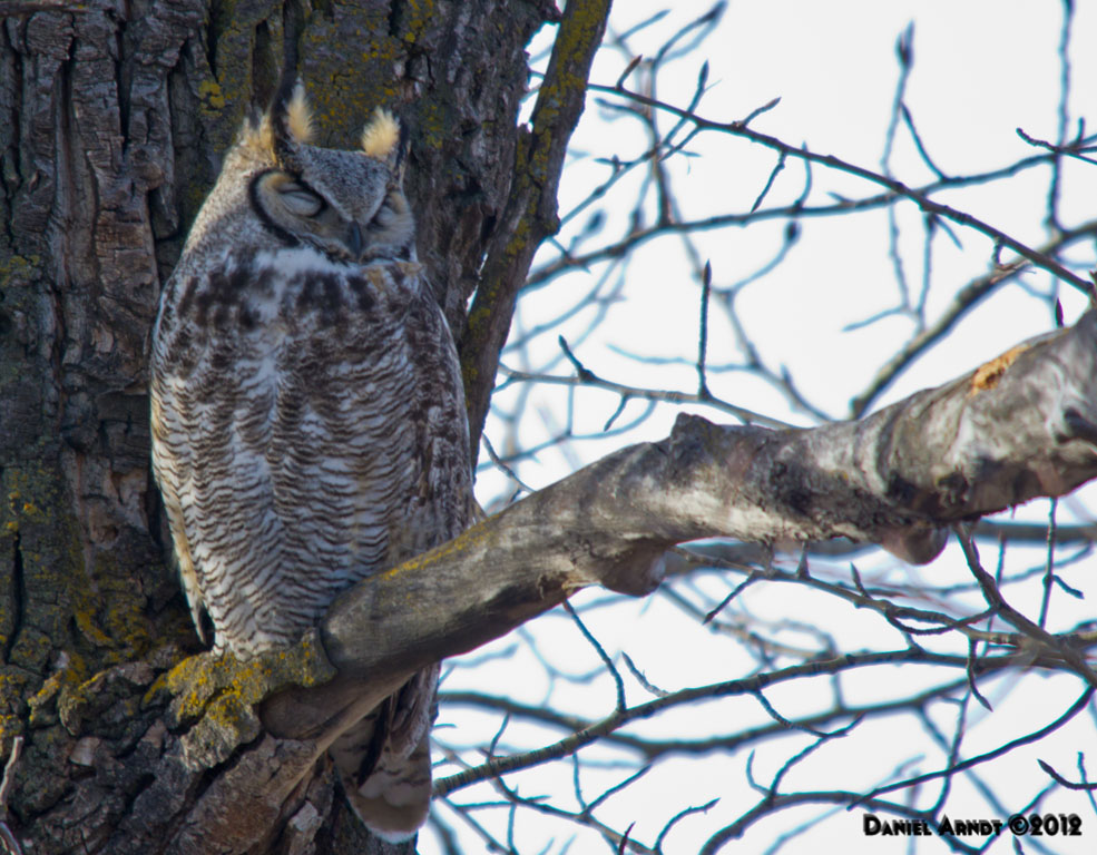 Great Horned Owl - Male 1