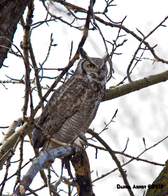 Great Horned Owl - male 2