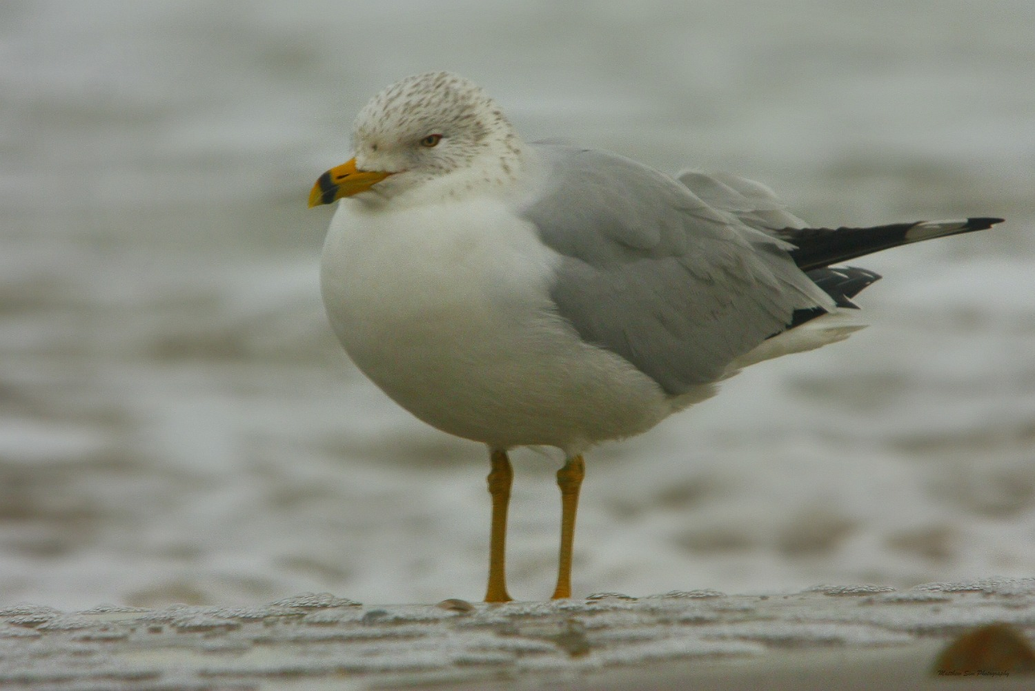 Gull With Red Ring Eye