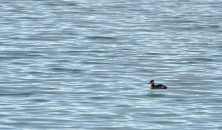 If you're a black-capped diving duck with a rusty colored neck, you might be a Red-neck...ed Grebe.