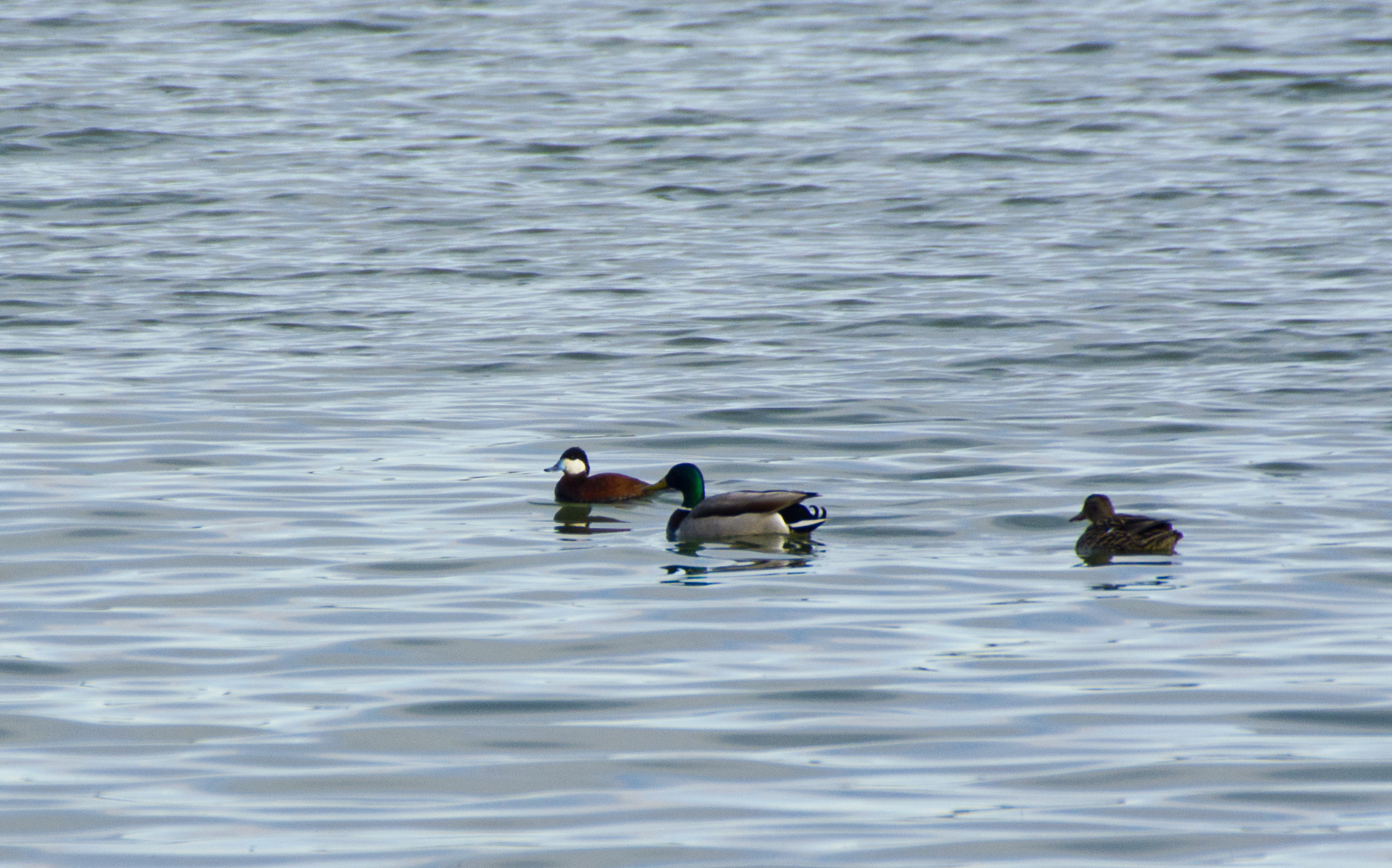 Ruddy Duck (far left) with Mallards