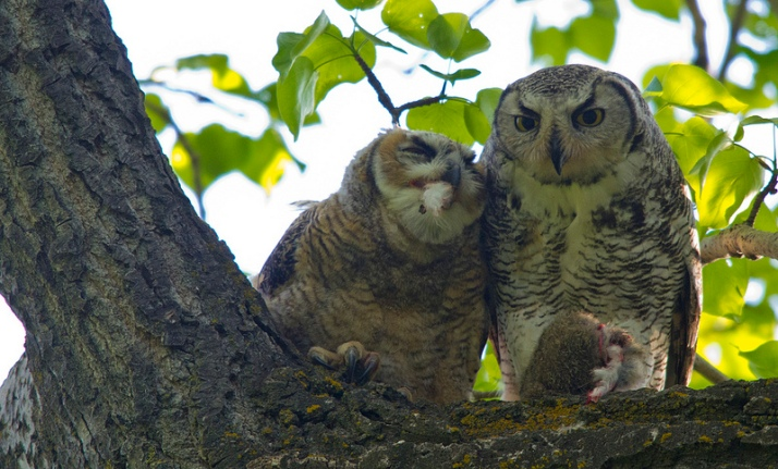 Great Horned Owls eating breakfast
