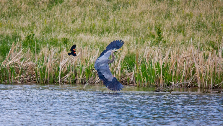 Red-winged Blackbird and Heron