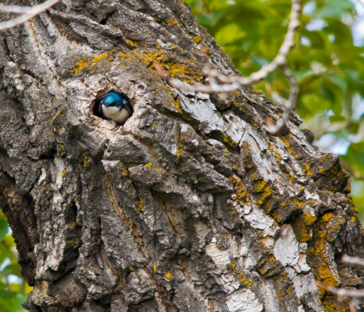 Tree Swallow in nest