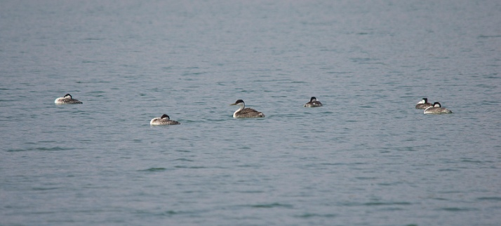 Clark's (far left) and Western Grebes