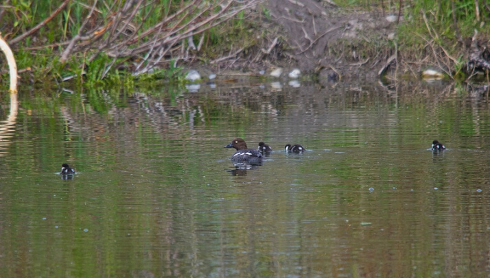 Goldeneye and chicks