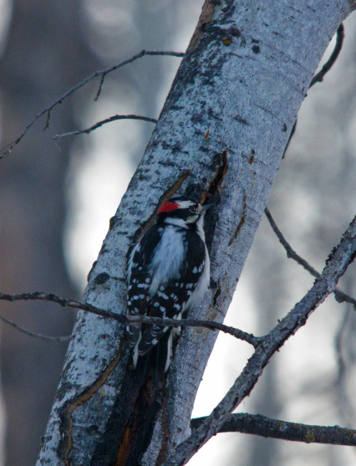 Bird #1 - Downy Woodpecker - January 2 - Bebo Grove