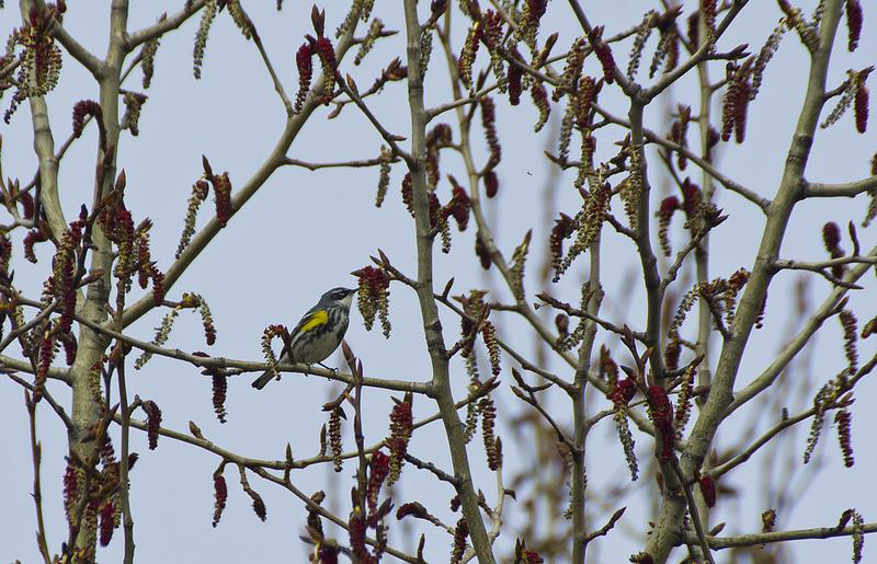 Bird #100 - Yellow-rumped Warbler - April 29 - South Glenmore Park