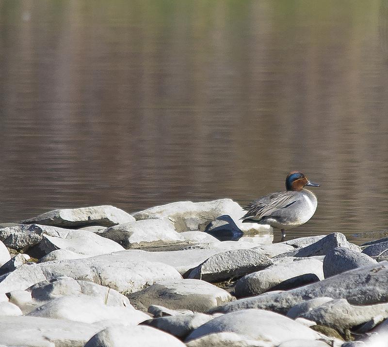 Bird #125 - Green-winged Teal - May 13 - Lafarge Meadows