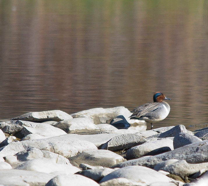 Bird #125 - Green-winged Teal - May 13 - Lafarge Meadows