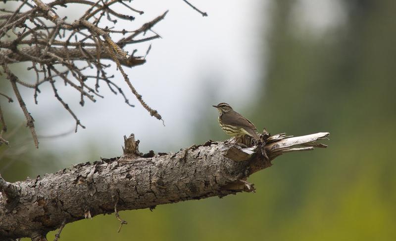Bird #175 - Northern Waterthrush - May 28 - Weaselhead Natural Area