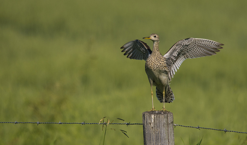 Bird #200 - Upland Sandpiper - July 22 - 320th St and 334th Avenue SE