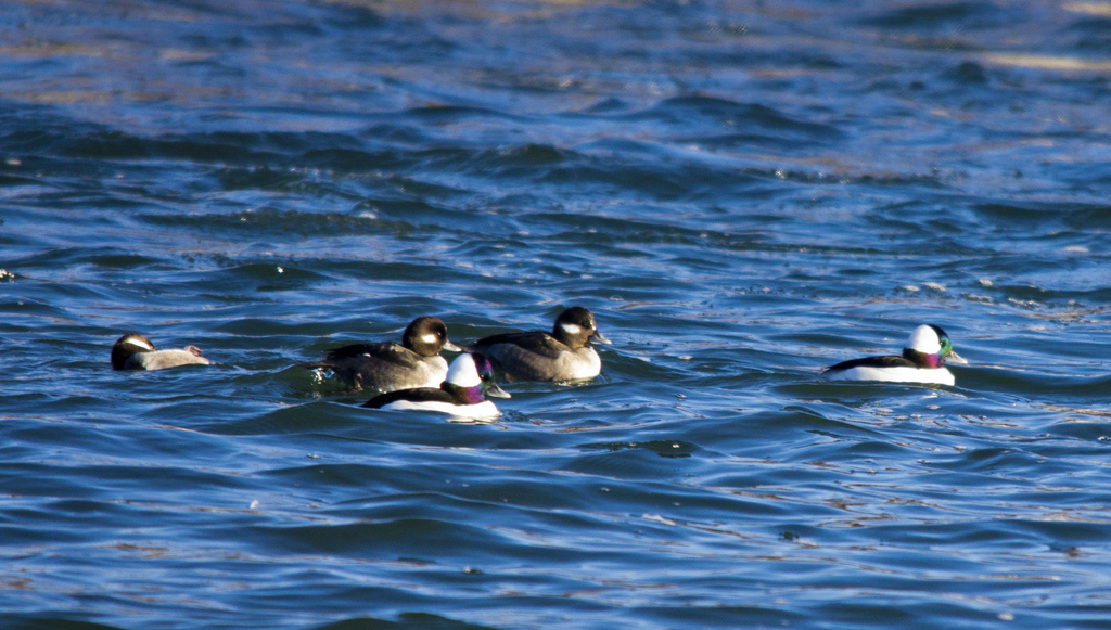 Bird #25 - Bufflehead - January 14 - Hull's Wood