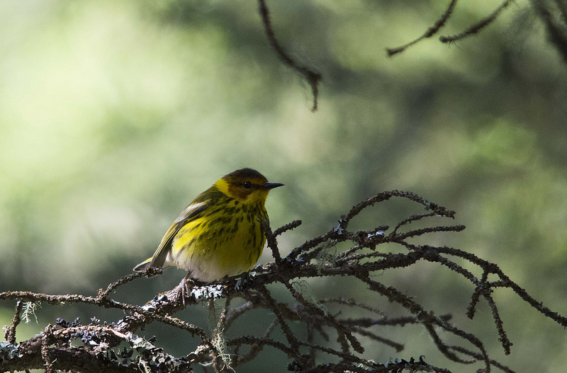 Cape May Warbler in the dark