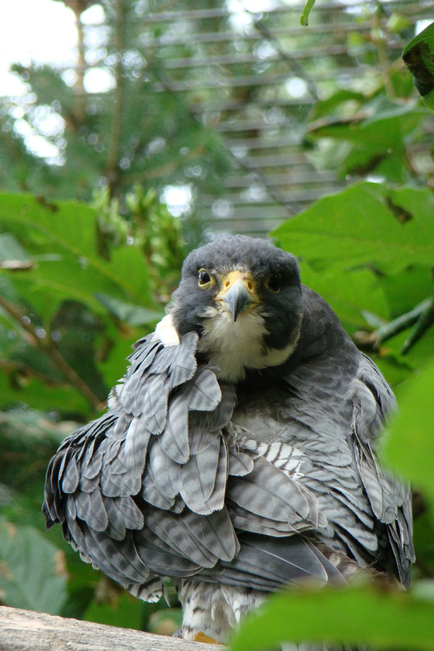 Bird #75 - Peregrine Falcon - March 28 - University of Calgary Campus