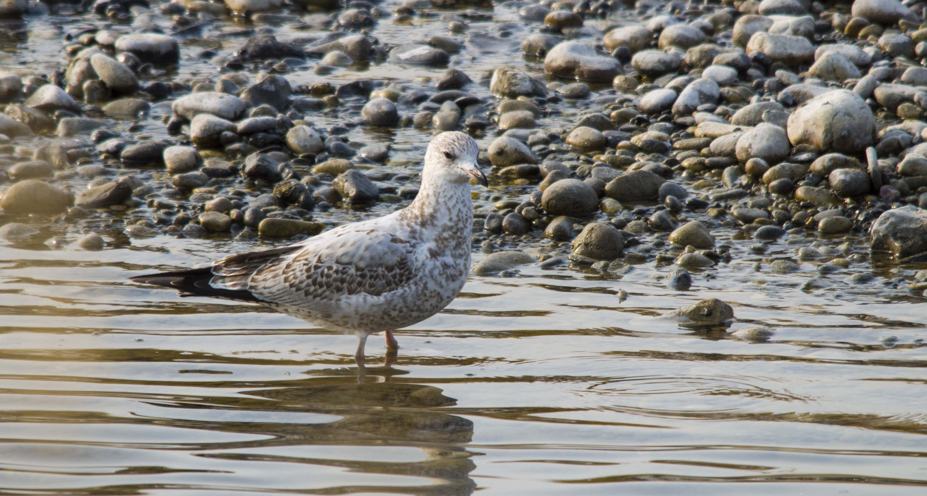 juvenile California Gull