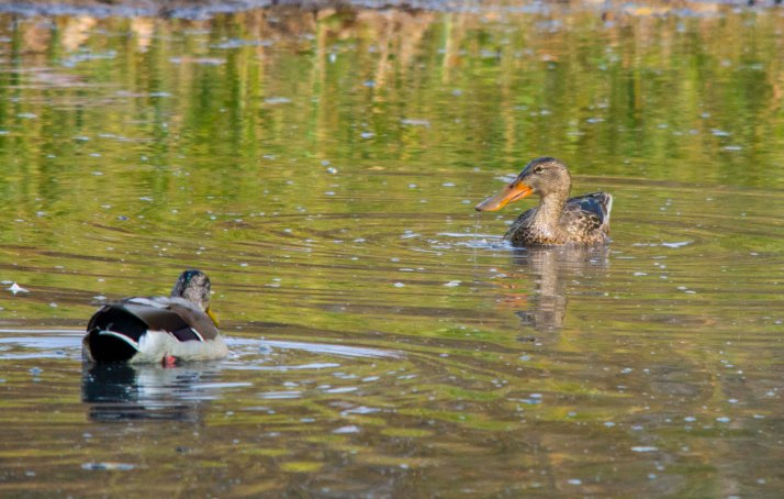 male Mallard (bottom left) and female Northern Shoveler (top right)