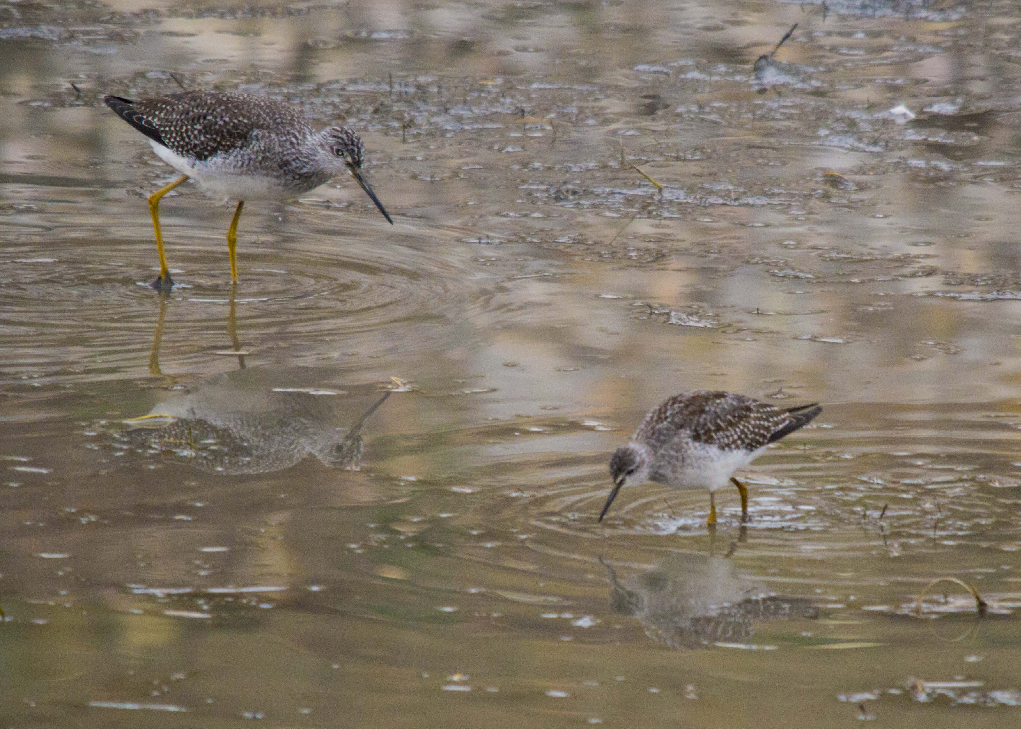 Greater and Lesser Yellowlegs