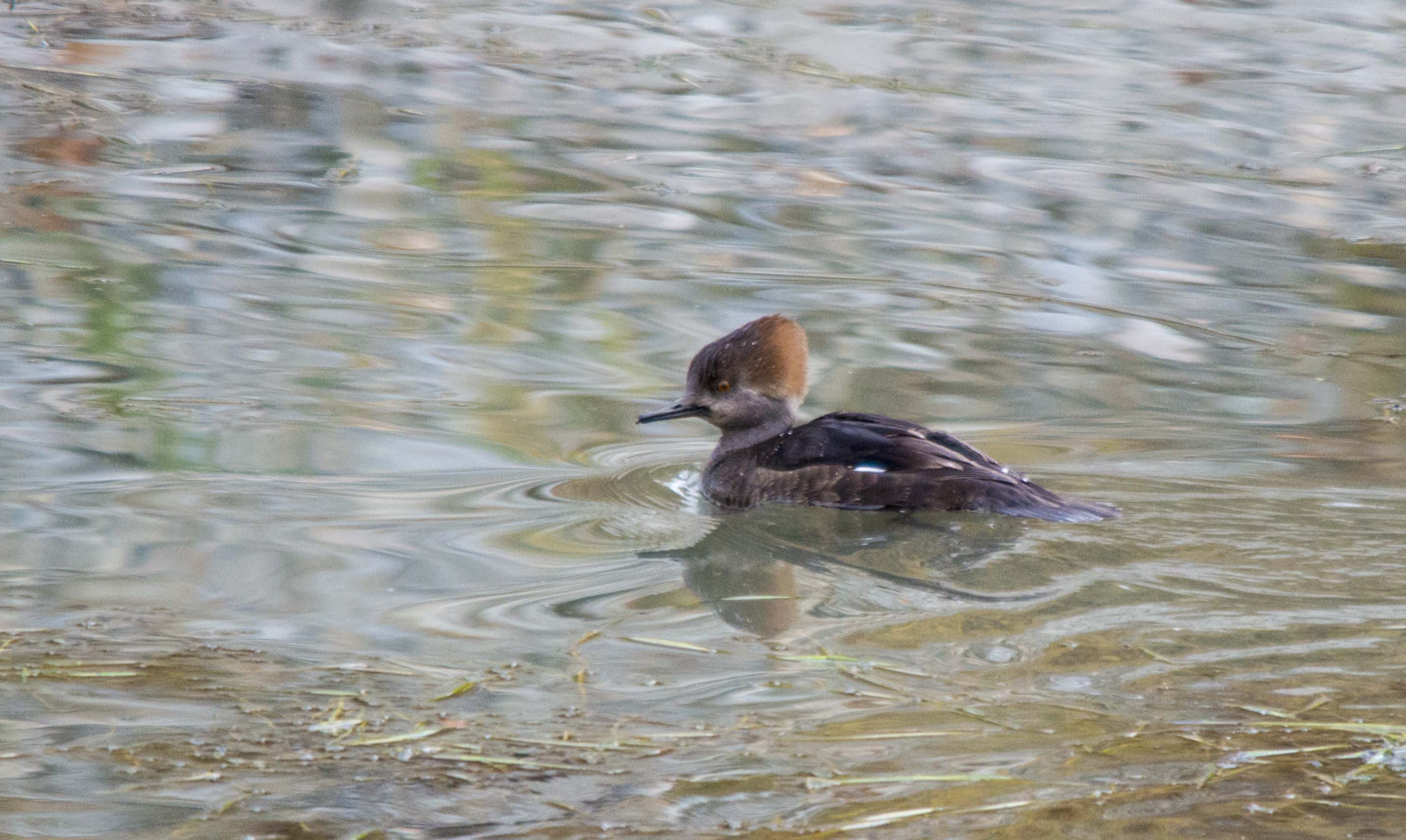 female Hooded Merganser