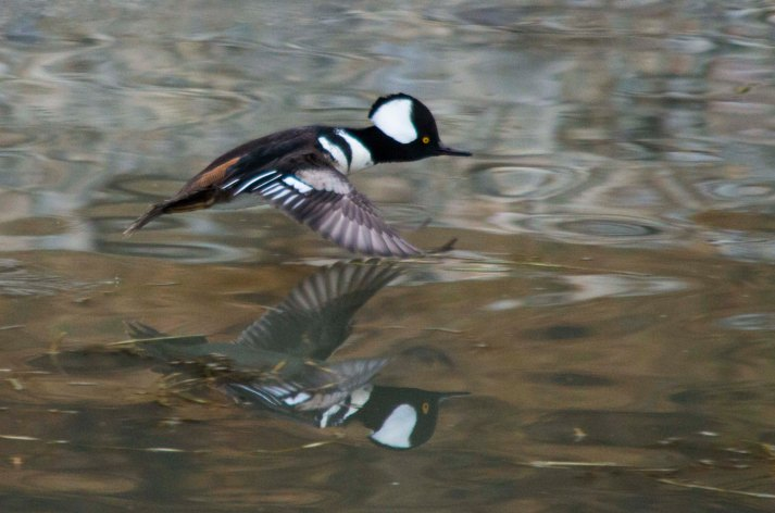 male Hooded Merganser taking off