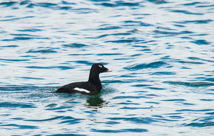 White-winged Scoter - October 13